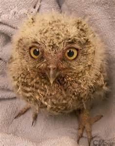 Baby western screech owl by ciameth d3b31d0 jpg 400 215 508 western