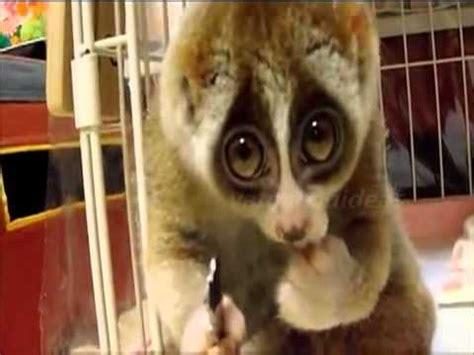 imagenes de ojos tiernos lemur tierno comiendo que ojos tan expresivos youtube