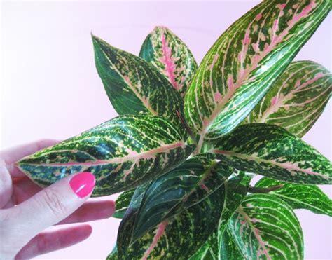 Aglonema Lipstik Tanaman Hias Unik Dan Rimbun 3 jenis tanaman hias daun terpopuler