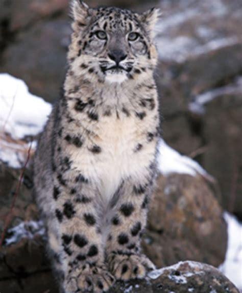 himalayan leopard