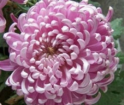 Bibit Biji Benih Bunga Carnation jual benih biji bunga krisan chrysanthemum peony flower lines