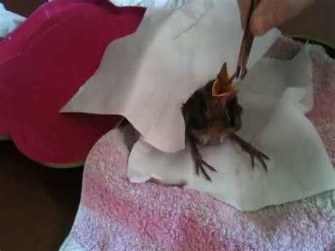 verzellino alimentazione verzellino caduto dal nido imboccato con una siringa p