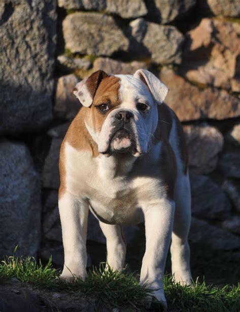 Sepatu Picboy Buldog 1 21 best continental bulldog images on bulldogs bulldog breeds and doggies