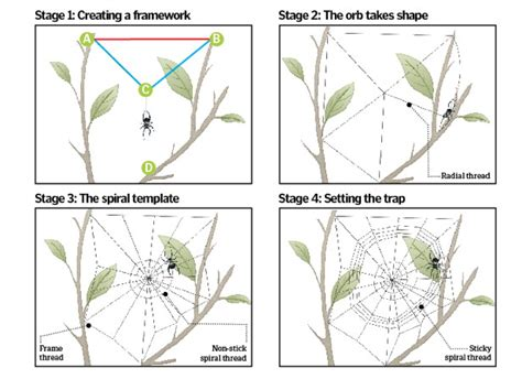 Garden Spider Building A Web How Does A Spider Construct Its Web Animalanswers Co Uk