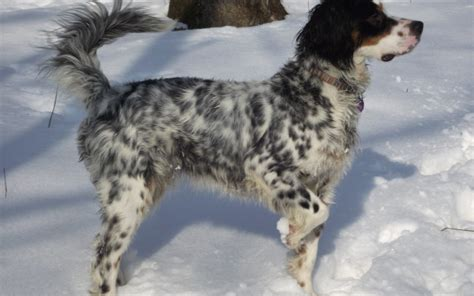 english setter dogs for sale in iowa german shorthaired pointers puppies for sale boarding