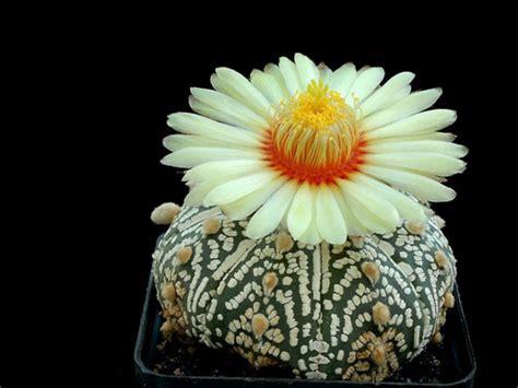 Unique Kaktus the most beautiful cactus flowers
