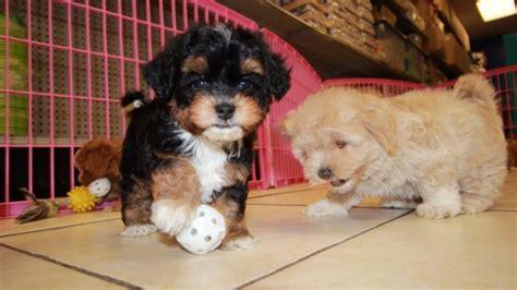 cavapoo puppies for sale in ga adorable cavapoo puppies for sale local breeders near atlanta ga many
