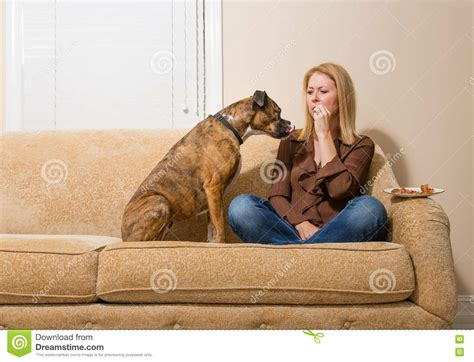 dog eats couch dog begging for bacon stock photo image 78268908
