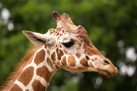 what color are giraffes does every giraffe their own pattern of spots