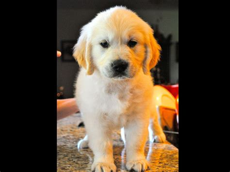golden retriever puppies virginia lounsberry breeders chesapeake va