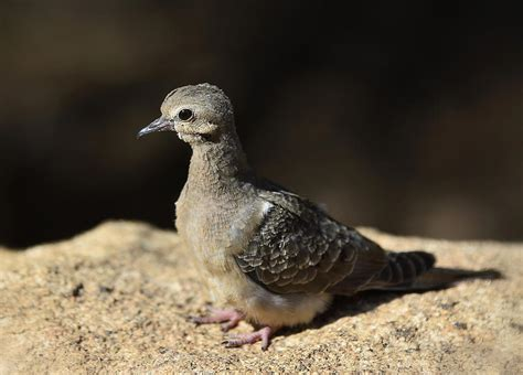 baby mourning dove photograph by saija lehtonen