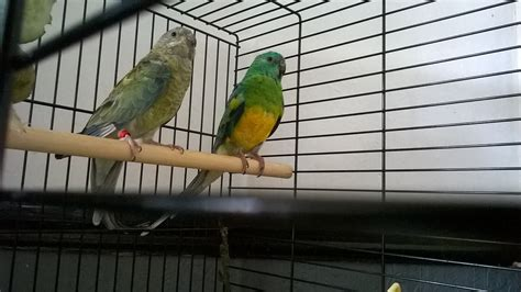 birds for sale san diego male red rump parakeet rumped parrot for sale parrots breed information omlet