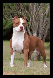 American Pitbull Puppies » Home Design 2017