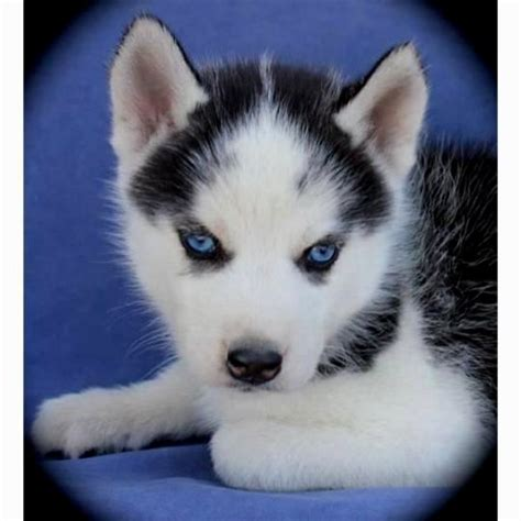 husky puppies with blue puppy husky with blue puppies puppy