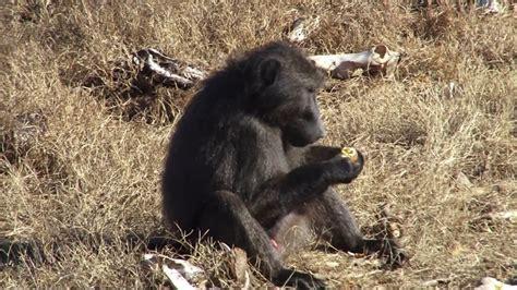 baboon monkey combo hunt  de beer safaris youtube