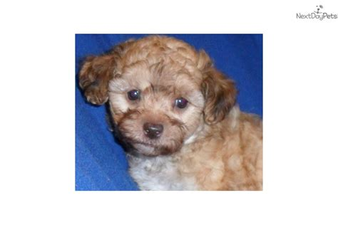 shih poo puppies for sale ohio shih poo shihpoo puppy for sale near akron canton