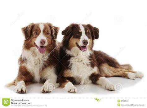 free australian shepherd puppies australian shepherd puppies for free 6 cool wallpaper dogbreedswallpapers