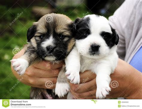 adorable small puppies two adorable puppies stock photo image 43593322