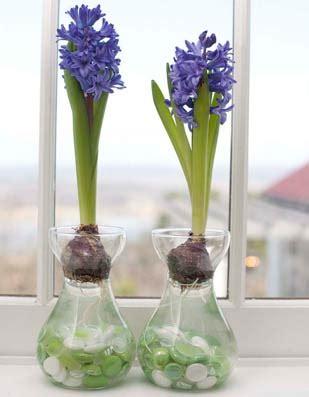grow hyacinths indoors