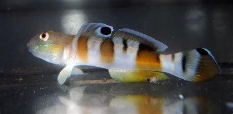 Tiger Sleeper Goby by Tiger Wardi Goby Care Images