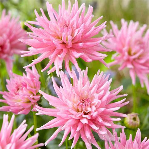 Set Dahlia zyverden dahlias s day pink bulbs set of 7