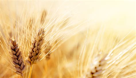 bid stock bigstock wheat field 44126500 jpg lake winnipeg foundation