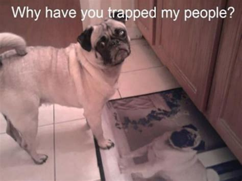 pictures of pugs with captions top 30 pug pictures with captions