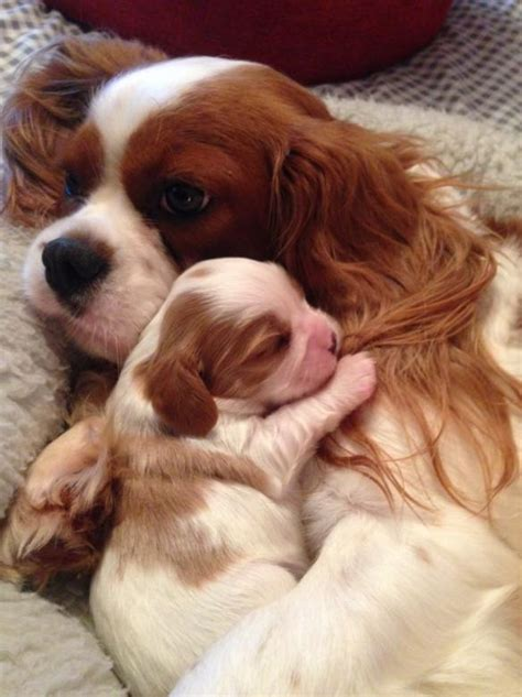 puppies st charles il st charles spaniel puppies for sale goldenacresdogs