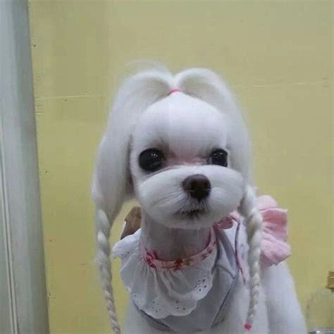 maltese grooming styles with long and short hair 25 cutest maltese haircuts for your little puppy