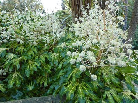 How To Garden How To Grow Fatsia Japonica The Garden Of Eaden