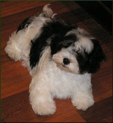 buy havanese puppies uk 25 best ideas about small dogs for sale on