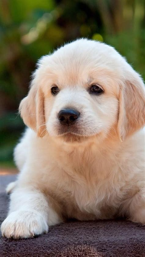 best dryer for golden retrievers 2770 best golden retrievers my images on adorable puppies and