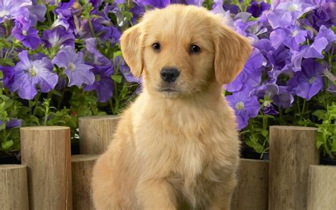top breeders of golden retrievers top 10 golden retriever puppies amo