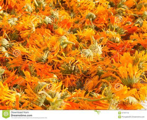 drying marigold calendula officinalis stock photo image 57197112