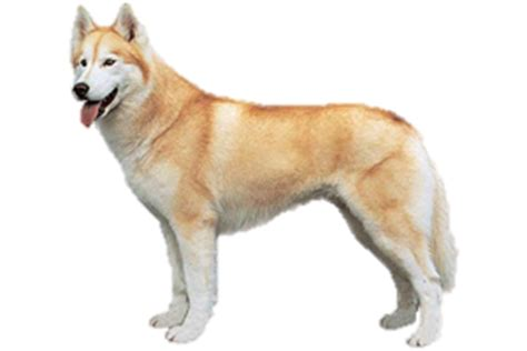 northern lights siberian husky rescue siberian husky worldly dogs