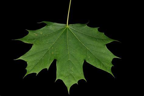 free nature studies green leaf factories leaves diyhomeschooler