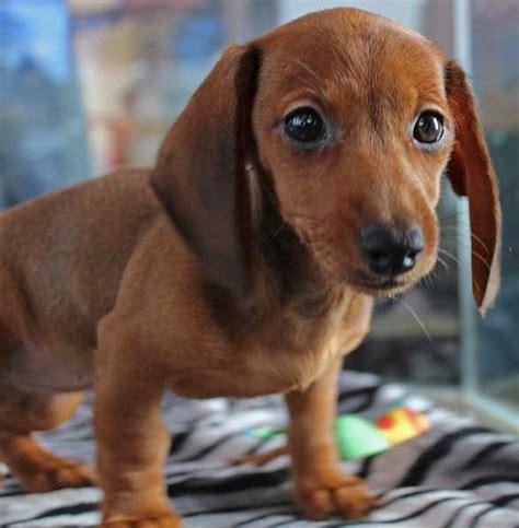 dachshund puppies florida dachshund puppy for sale in south florida