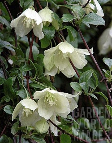 the 25 best ideas about clematis flower on - Winter Flowering Climbing Plants