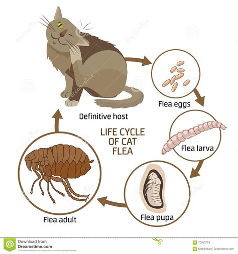 cycle of a cat diagram cycle of cat flea vector illustration the spread of