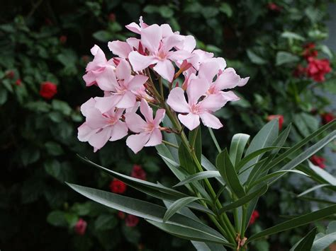 poisonous flowering shrub file 20080311 nerium oleander flowers jpg wikimedia commons