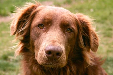 chocolate lab mixed with golden retriever chocolate lab and golden retriever breeds picture