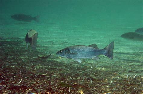 pesca spigola porto spigole dicentrarchus labrax forum natura mediterraneo