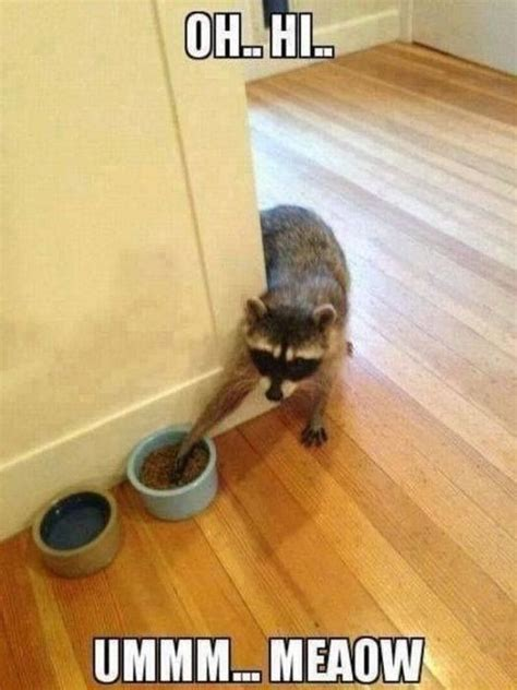 Sneaky Cat Meme - sneaky raccoon pictures photos and images for facebook