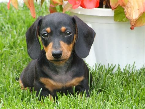 dachshund breed mini dachshunds for sale in breeds picture