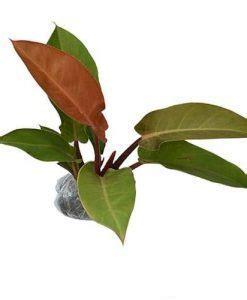 Bibit Tanaman Hias Philo Katak 3 tips cara menanam dan merawat tanaman hias philodendron