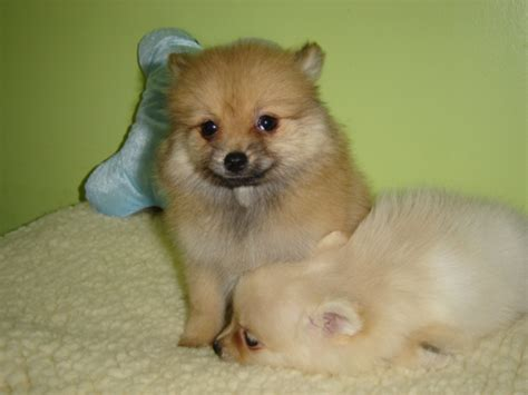 empire puppies teacup pomeranian husky mix breeds picture
