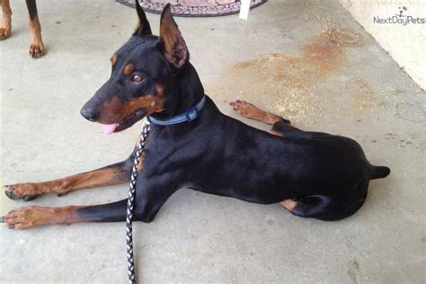 german pinscher puppies for sale dogs and puppies for sale and adoption oodle marketplace