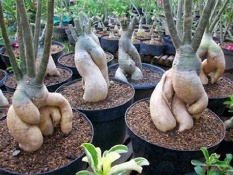 Pupuk Untuk Bunga Kamboja cara menanam bunga kamboja dari biji bibitbunga