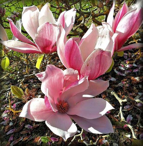 pink magnolia flowers pink magnolia trees pinterest