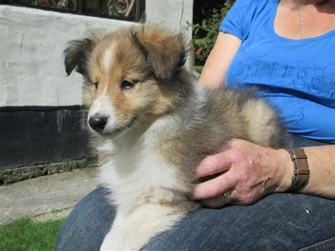 sheltie puppies for sale in indiana shetland sheepdog puppies for sale